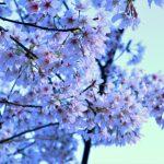 アートギャッベと桜