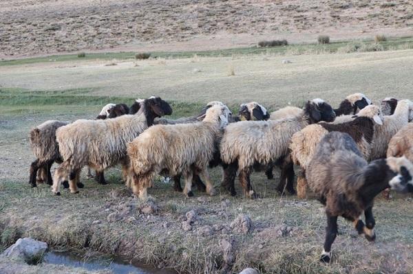 高山で暮らす羊