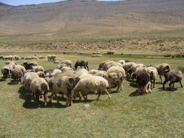 アートギャッベで使われれる羊たち